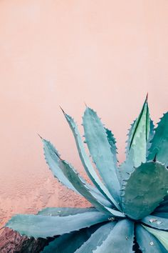 prickly pals on pink // agave
