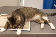 """Help!  I am stuck at Petco Fridley and no one has adopted me!  My name is Smudge and I ended up in rescue after a dog.... well, lets just say I let him win.  I thought I was fine but my foster mom thought I should see a vet due to the four inch wound in my neck.  I let them stitch it up to make them feel better.  Now it is all healed up and I am waiting for a family to take me home.  Hey, I just heard that I have a """"sponsor"""" that lowered my adoption fee to help me find a home!  From today…"""