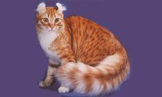 En 1981 en California, una camada de gatitos al nacer fueron revelando un inusual rizo en sus oídos. Este cambio dominante fue pasado de los gatitos a sus descendientes una vez que pudieron reproducirse. Hoy en día, hay una buena cantidad de estos gatitos con el tradicional rizo en sus orejas, este rizo aparece después de los seis meses. Esta raza de gatos fue llamada AMERICAN CURL.
