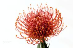 Leucospermum - Pincushion Protea Thanks a lot to Neo-Rajah for its name . Fall Clip Art, Botanical Art, Macro Photography, Fungi, Pin Cushions, Bouquet, Palette, Bloom, Drawings