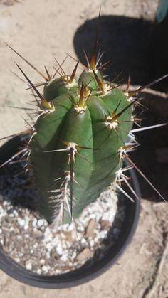 Trichocereus tulhuayacensis