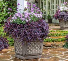 Selecting Plant Companions for Purple Daydream® Dwarf Loropetalum