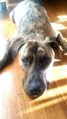 I <3 my plott hound