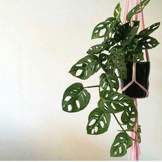 """4 - MONSTERA OBLÍQUA  Monstera é um gênero com cerca de 60 espécies originárias do México e da américa tropical. A espécie oblíqua, também chamada de """"Swiss Cheese Plant"""", apresenta folhas com recortes muito ornamentais. Geralmente é cultivada perto de muros, paredes ou troncos de árvores, mas também funciona quando usada como planta pendente, já que seus galhos se derramam, criando um efeito decorativo cheio de vida. Mantenha à meia-sombra e regue bem duas vezes por semana."""