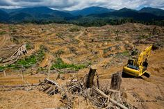 Palm oil, an ingredient found in many everyday food and cosmetic products, is contributing to the rapid destruction of rainforests. Orangutan habitat in Sumatra and Borneo is being cleared at an alarming rate for conversion to oil palm plantations. On Sumatra there is now more than 4 times as much land cultivated with oil palms as there is orangutan habitat remaining.
