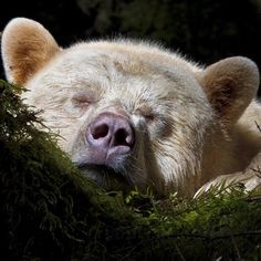 """(@natgeotravel) on Instagram: """"Photograph by @paulnicklen // A Spirit Bear settles in for a long sleep after a full day of gorging…"""""""