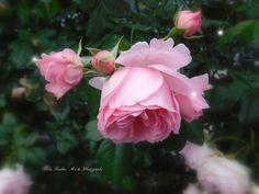 gertrude jekyll rose by Mika I. Gertrude Jekyll Rose, Art Photography, Fine Art, Plants, Flowers, Fine Art Photography, Plant, Visual Arts, Artistic Photography