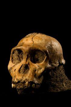Australopithecus sediba aparentemente vivió en una dieta de hojas, frutos, madera y corteza, según los científicos, mientras que otros homínidos en África principalmente consumen hierbas.