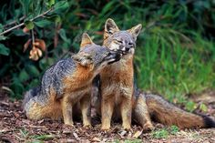 "2016 - These California Island Foxes Have Bounced Back From Near Extinction: ""12 years ago, a diminutive and rare fox native to California's Channel Islands was about to vanish forever. Today, 3 out of 4 subspecies of the Channel Island fox have recovered so well that on Thursday the Obama administration announced that they had been taken off the federal endangered species list. Wildlife managers are celebrating the recovery of the foxes of San Miguel, Santa Rosa, and Santa Cruz island"" (Aug…"