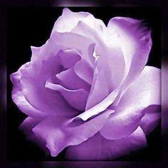 Stirling Rose Sigo Flowers And Gardens De Lourdes Rahi