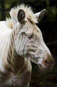 Zoe, la única ''Cebra Blanca'' que queda en La Tierra. Tiene ojos azules y rayas doradas. ¡CUIDEMOS LAS ESPECIES!