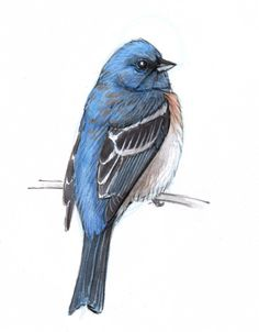 Learn how to draw a bird with this step by step pencil and watercolor demonstration of a Lazuli Bunting.