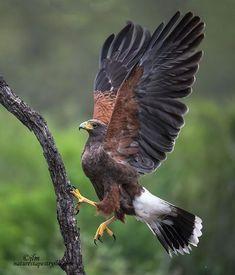 Nature Animals, Animals And Pets, Cute Animals, All Birds, Birds Of Prey, Harris Hawk, Mundo Animal, Bird Pictures, Exotic Birds