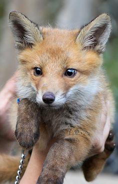 baby bitey fox