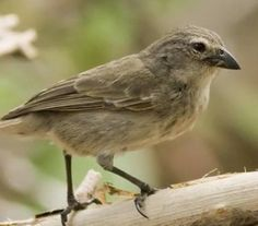 endangered mangrove finches released in galapagos