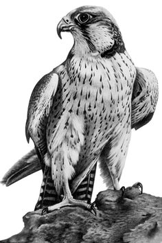 Falcon by Wild Witch Graphics - Falcon by Wild Witch Graphics - Bird Drawings, Animal Drawings, Falke Tattoo, Eagle Drawing, Bird Sketch, Eagle Art, Black And White Drawing, Animal Sketches, Birds Of Prey