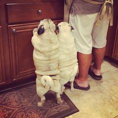 pugsofinstagram: Dude, where's our turkey? (dewey_lilly)