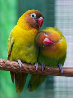 Cute picture of two lovebirds cuddling together, just sad that the background isn't that nice. Dessert Animals, Animals And Pets, Cute Animals, Bird Quotes, Australian Birds, Beach Wallpaper, Just Beauty, Cute Birds, Watercolor Bird