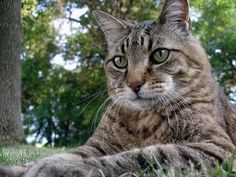 How tabby cats earn their stripes - genetics answer