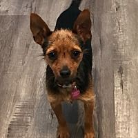 Los Alamitos, California - Terrier (Unknown Type, Small). Meet Chipmunk, a for adoption. https://www.adoptapet.com/pet/19919002-los-alamitos-california-terrier-unknown-type-small-mix