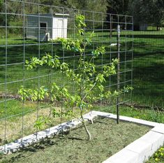 Pear tree as informal espalier. Great info here about selecting dwarf apple & pear trees suitable for espaliering.