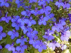 Lobelia erinus (Garden Lobelia)