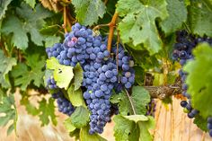 Grapes grown for wine in the Cape Winelands