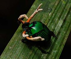 Cordycep fungus growing out of beetle in amazon rainforest