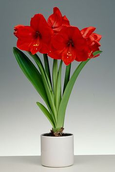 Amaryllis Red Lion with Ceramic Pot: David Domoney for John Lewis exclusive bulb collections