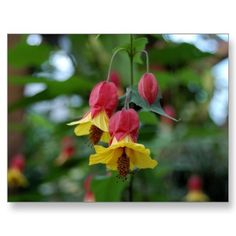 Brazilian Bell-Flower