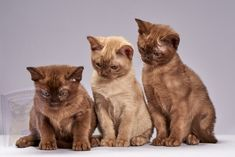 Exotic Cat Breeds, Exotic Cats, Turkish Angora Cat, Angora Cats, Cat Breeds List, Burmese Kittens, Cat Noises, Oriental Shorthair Cats, Gatos Cat