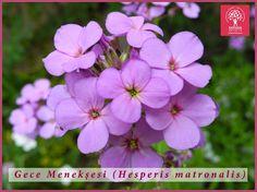Expo 2016 Antalya BLOG: Flower of the day: Hesperis matronalis