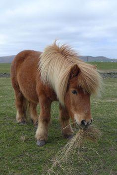 The famous Shetland Pony! The famous Shetland Pony! The famous Shetland Pony! The famous Shetland Po Cute Baby Horses, Tiny Horses, Pretty Horses, Beautiful Horses, Animals Beautiful, Poney Miniature, Miniature Ponies, Baby Animals Pictures, Horse Pictures