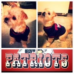 #patriots #puppy #patsfan