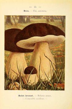 PL  44 - img/planches-dessins champignons/boletus aerus - bolet bronze - comestible excellent.jpg