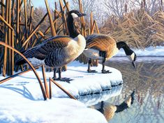 About Size:You can choose any size according to your needs (in order to produce the effect, need to meet the scale of the original photo). Please select the appropriate size: large size, more clear. Wildlife Paintings, Wildlife Art, Bird Pictures, Pictures To Paint, Duck Art, Rooster Art, Snow Art, Canadian Art, Bird Drawings