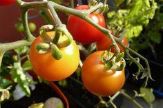 Tomaten kweken. Idealiter worden tomaten 2 maanden voor de laatste kans op vorst binnen voorgezaaid. Voor Nederland is dit dus Maart, maar later kan vaak ook nog.