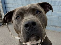 SAFE Brooklyn Center  ECKO a/k/a GRANT - A0975045  MALE, GRAY / WHITE, PIT BULL MIX, 6 yrs