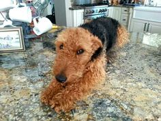 """Airedale Terrier on the kitchen counter. """"Oh hi, just waiting for breakfast."""""""