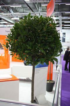 Lorbeerbaum, Hochstamm, Baum für Messestand, laurel tree for fair, room divider, stand construction