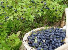 Products that will help to quickly relieve fatigue! Blueberry Picking, Blueberry Farm, Blueberries For Sal, Medical Art, Small Farm, Fruits And Vegetables, Farmers Market, Asparagus, Healthy Lifestyle