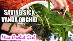 Saving Vanda Orchid with root rot and fungal infection - Orchid Nature