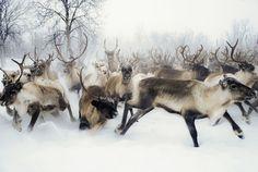 """pineandantler: """" reindeer anne katja gaup """""""