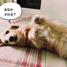 魅惑の腹毛を持つうーちゃん😂うーちゃんのお腹を撫でてると、気持ちが和らぎます😊いつもありがとうね、うーちゃん💕末っ子は我が家のビタミン剤✨ #ミニチュアダックス #ミニチュアダックス倶楽部 #ミニチュアダックスフンド #ミニチュアダックス大好き #ダックス #ダックス倶楽部 #愛犬 #犬は家族 #犬との暮らし #犬との生活 #犬との日々 #犬らぶ #犬らぶ部 #犬ばか #犬ばか部  #いぬは家族 #みにちゅあだっくす #みにちゅあだっくすふんど #短足部 #minichuaducks #instadog  #ilovemydog #癒しわんこ #たんそく部  #今日のわんこ #今日のダックスフンド #ミニチュアダックスゴールド  #minichuadachshund  #minichuadachs