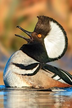 Drake Hooded Merganser displaying to stake out breeding territory