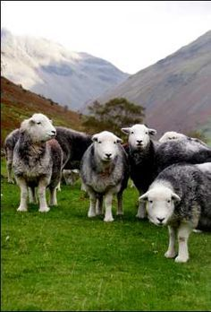 Herdwick sheep were probably introduced by Norse settlers during the Viking invasions (10th-11th c.). The husbandry of the sheep has been a large factor in shaping the culture & terrain of the Lake District. Beatrix Potter was involved with breeding Herdwicks & bequeathed 15 farms to the National Trust. Per her instructions all continue to graze Herdwick flocks.