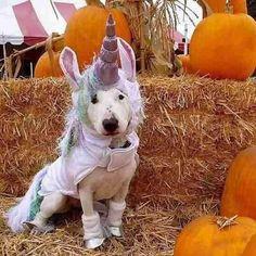 My 3 favourites : bullterriërs, halloween and unicorns