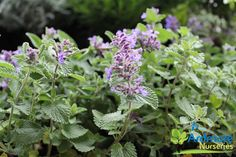 NEPETA RACEMOSA 'BLUE WONDER' Nepeta  A mounding, bushy perennial, intricately veined, aromatic, grey green foliage. Features small, abundant, two lipped, trumpet shaped, dark blue flowers in loose racemes. Prefers full sun to semi shade, well drained moist soils. Tolerates exposed and sheltered sites.  E.H. 45cm x E.W. 45cm