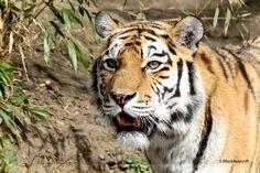 Tiger di Blecky