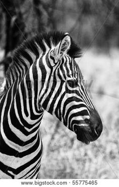 Black And White Valance, Black And White Picture Wall, Black And White Posters, Photo Black, Black And White Pictures, Black White, Zebra Painting, Acrylic Painting Canvas, Animal Paintings